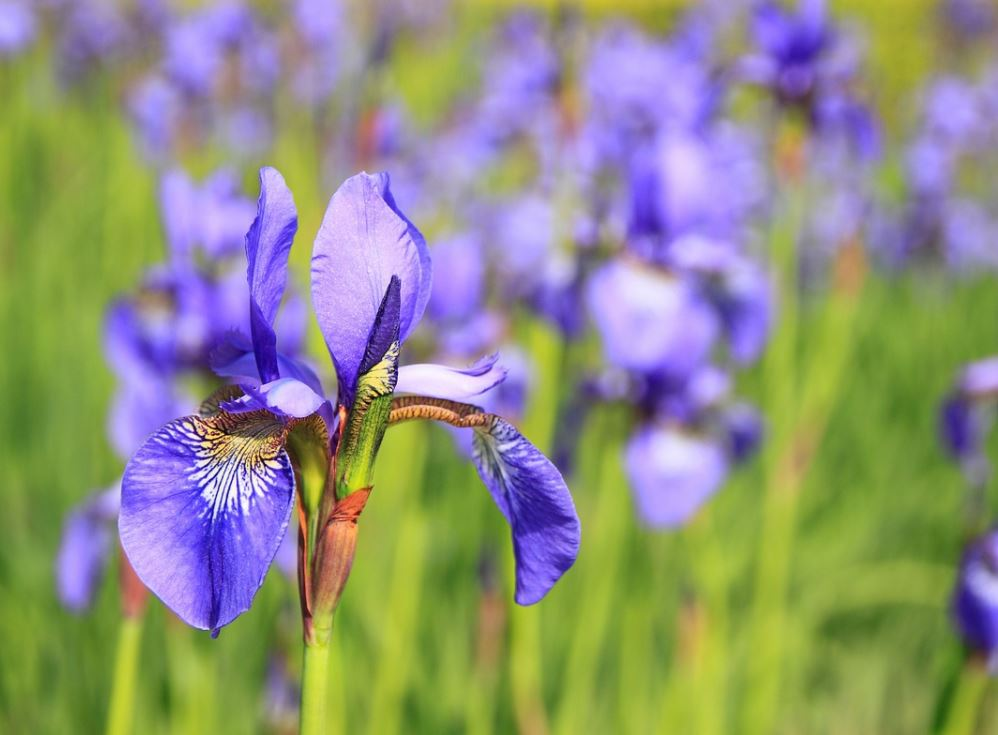 Iris Pixabay