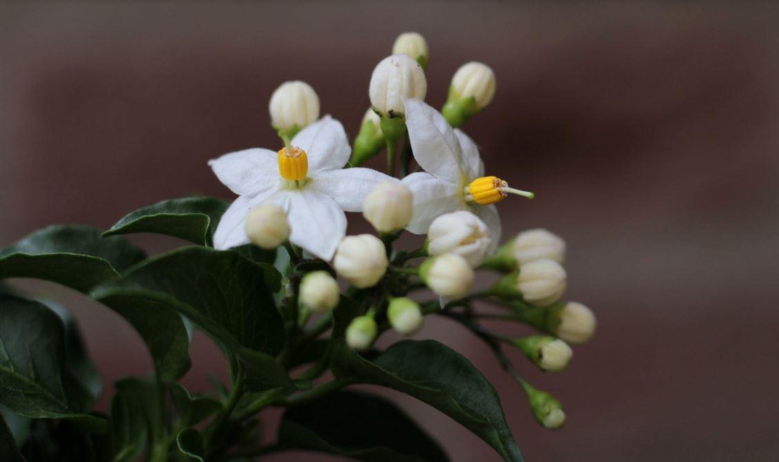 Solanum Grimpant Blanc