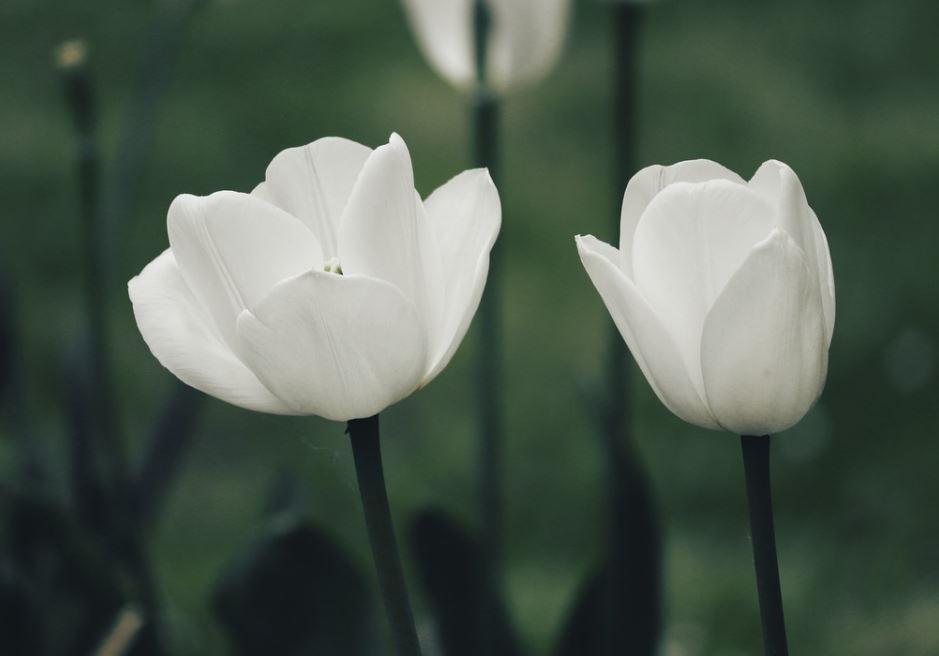Tulipe Pixabay