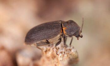 Vrillette Bois Insecte