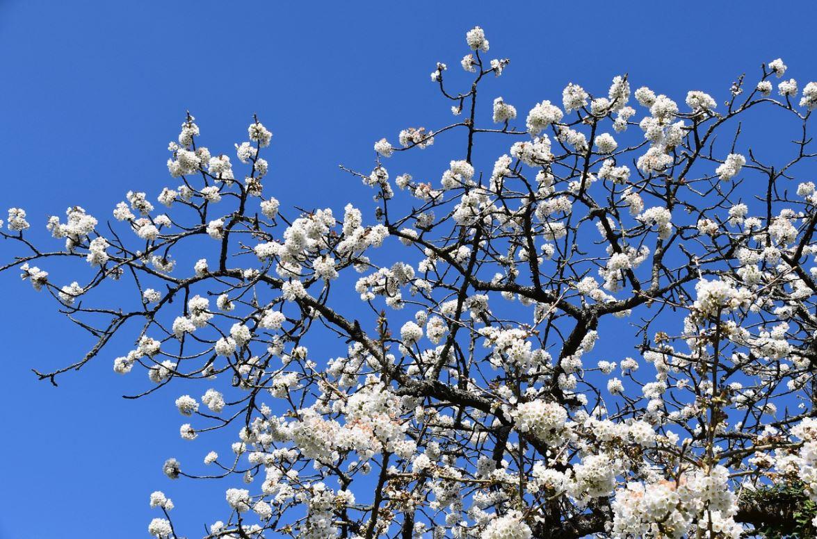 Cerisier A Fleurs