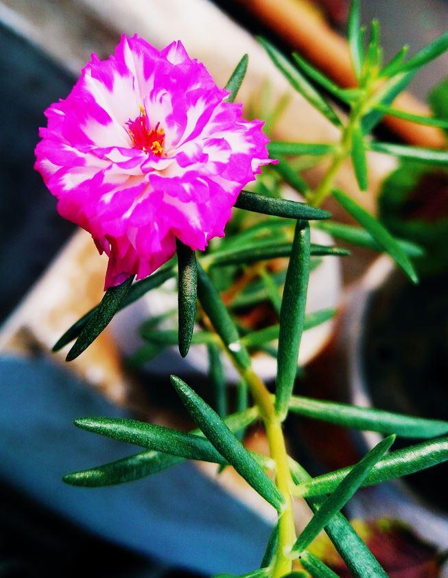 Pourpier A Grandes Fleurs